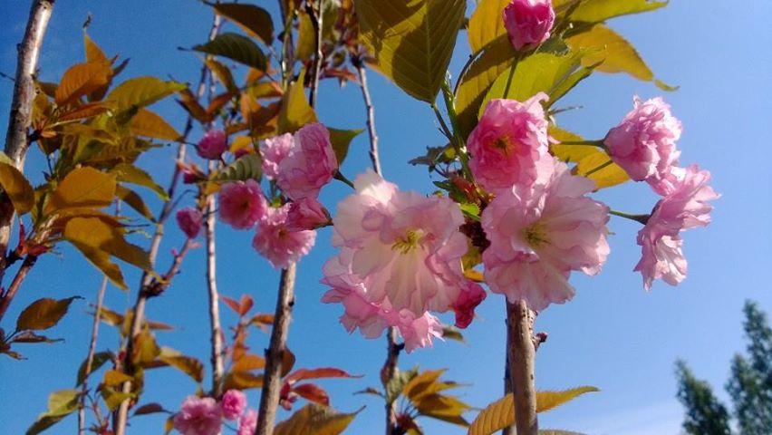 Prunus serrulata P. 'kanzan'