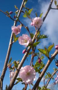 Prunus serrulata P.'accolade' kukkii kirsikkapuiston puista ensimmäisenä.