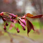 Japanilaistyylisen puutarhan kirsikkapuut 29.4.2014. Paljon nuppuja ja yhdessä oksassa jo kukkia.