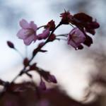 Japanilaistyylisen puutarhan kirsikkapuut 2.5.2014. Kukkia aukeaa yksitellen lisää.