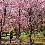 Japanilaistyylisen puutarhan kirsikkapuut äitienpäivänä 11.5.2014. Puut täydessä kukassa ja ihmiset liikkeellä.