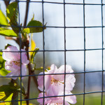 Kirsikkapuiston kirsikkapuut äitienpäivänä 11.5.2014. Myös pikkuruinen Prunus serrulata 'Accolade' -japaninkirsikkalajike kukassa.