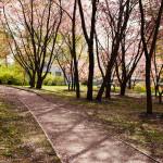 Japanilaistyylisen puutarhan kirsikkapuut 14.5.2014. Terälehtiä alkanut tippua, mutta puut yhä vaaleanpunaisenaan.