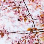 Japanilaistyylisen puutarhan kirsikkapuut 14.5.2014. Kimalaiset lentävät kukasta kukkaan.