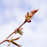 Kirsikkapuiston kirsikkapuut 15.5.2014. Prunus serrulata 'Kanzan' -japaninkirsikkalajikkeessa ensimmäiset nuput.