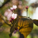 Japanilaistyylisen puutarhan kirsikkapuut hanami-juhlissa 18.5.2014.