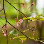 Japanilaistyylisen puutarhan kirsikkapuut 21.5.2014. Kukinta alkaa olla ohi.