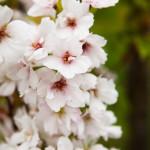 Kirsikkapuisto 27.5.2014. Prunus serrulata 'Amanogawa' -japaninkirsikkalajike kukkii.