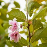 Kirsikkapuisto 27.5.2014. Prunus serrulata 'Kanzan' -japaninkirsikkalajike kukkii.