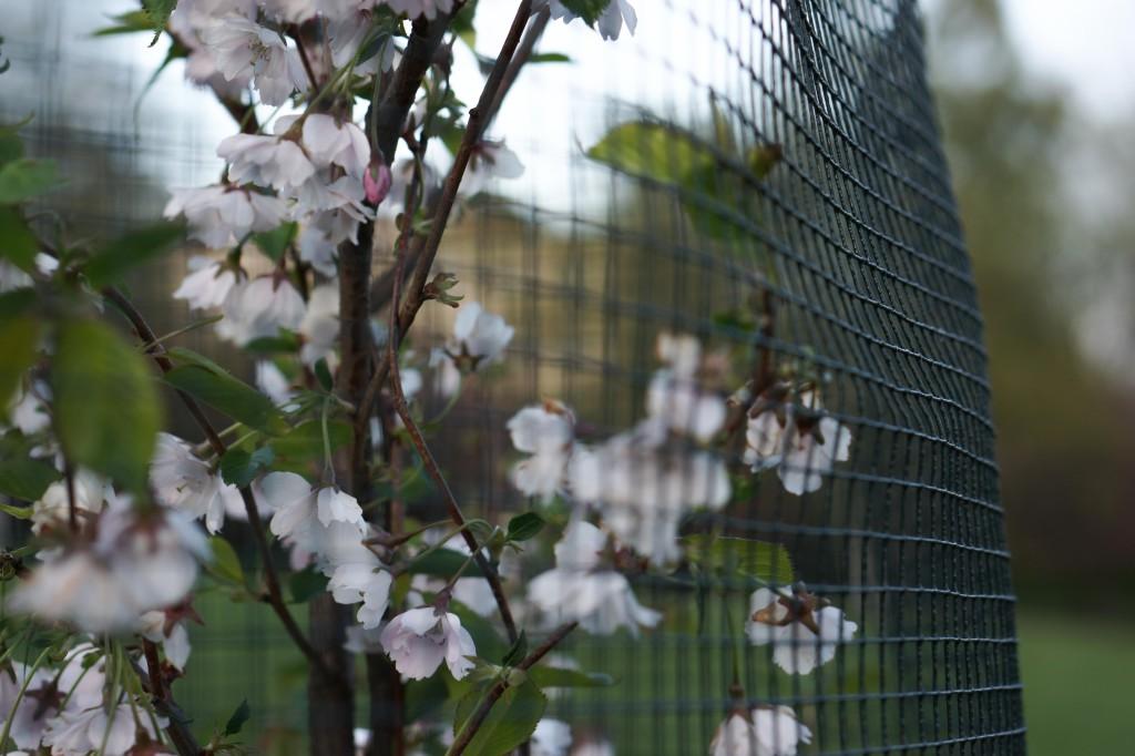 14.5. Kirsikkapuistossa kukinta on huipussaan, kaikki nuput ovat nyt auenneet.