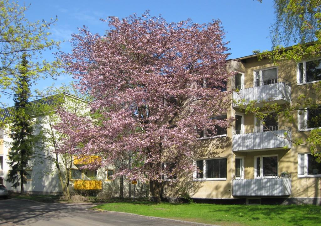 Kirsikka sarja kuva suku puoli