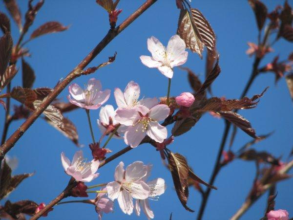 kirsikka kukka ruiskuttaminen