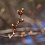 Japanilaistyylisen puutarhan kirsikkapuut 22.4.2014.