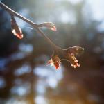 Japanilaistyylisen puutarhan kirsikkapuut 25.4.2014.