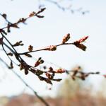 Kirsikkapuiston kirsikkapuut 28.4.2014. Nuppuja jo näkyvissä.