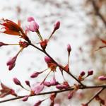 Kirsikkapuiston kirsikkapuut 5.5.2014. Kukkia on alkanut aueta.