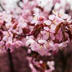 Japanilaistyylisen puutarhan kirsikkapuut 9.5.2014. Osa puista jo täydessä kukassa.