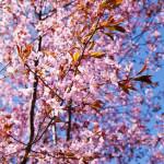 Kirsikkapuiston kirsikkapuut äitienpäivänä 11.5.2014. Puut täydessä kukassa ja ihmiset liikkeellä.