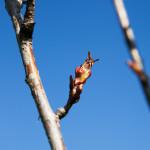 Kirsikkapuiston kirsikkapuut äitienpäivänä 11.5.2014. Prunus serrulata 'Kanzan' -japaninkirsikkalajikkeen silmut aukeamassa.