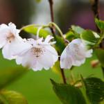 Kirsikkapuiston kirsikkapuut 15.5.2014. Prunus serrulata 'Accolade' -japaninkirsikkalajike yhä kukassa.