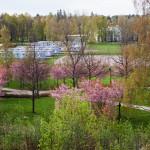 Kirsikkapuiston kirsikkapuut 15.5.2014. Puut yhä vaaleanpunaisenaan.