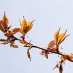 Kirsikkapuiston kirsikkapuut hanami-juhlissa 18.5.2014. Prunus serrulata 'Kanzan' -japaninkirsikkalajike yhä nupulla.