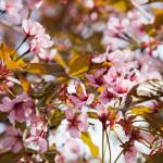 Kirsikkapuiston kirsikkapuut hanami-juhlissa 18.5.2014.